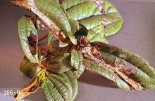 Image related to Laurel, Portuguese (Prunus)-Carnation tortrix