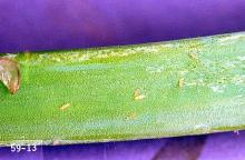 Image related to Leek and shallot-Thrips