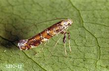 Image related to Lilac (Syringa)-Lilac leafminer