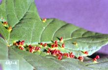 Image related to Maple (Acer)-Maple bladdergall mite