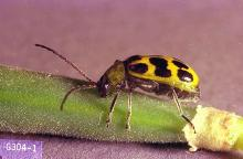 Image related to Melon (Cantaloupe, muskmelon, and watermelon)-Cucumber beetle