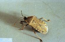 Image related to Melon (Cantaloupe, muskmelon, and watermelon)-Squash bug