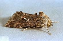 Image related to Mint-Alfalfa looper and cabbage looper