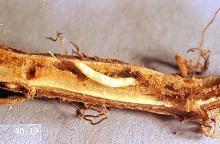 Image related to Mint-Mint flea beetle