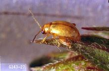 Image related to Mint-Mint flea beetle