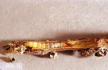 Image related to Mint-Mint root borer