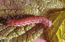 Image related to Mint-Redbacked cutworm