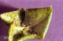 Image related to Mustard greens-Aphid