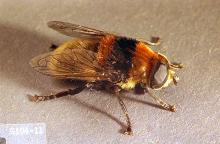 Image related to Narcissus (Narcissus)-Narcissus bulb fly