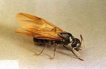 Image related to Nuisance and household pests-Ant