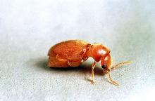 Image related to Nuisance and household pests-Cigarette beetle and drugstore beetle