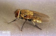 Image related to Nuisance and household pests-Cluster fly