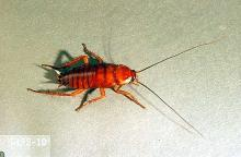 Image related to Nuisance and household pests-Cockroach