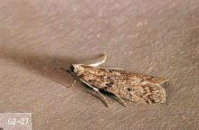 Image related to Nuisance and household pests-Flour moth