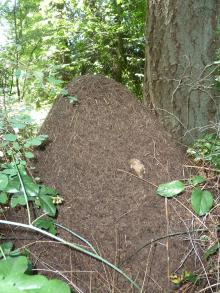 Western thatching ant- Nest