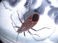 Western Boxelder Bug