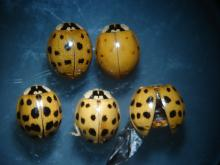 Multicolored Asiatic Ladybeetles