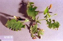 Image related to Nursery crop pests-Weevil