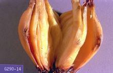 Image related to Onion-Onion maggot and seedcorn maggot