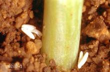 Image related to Onion seed-Maggot