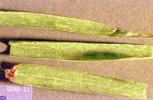 Image related to Pasture and grass hay-Clover and winter grain mite