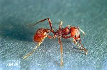 Image related to Pasture and grass hay-Harvester ant