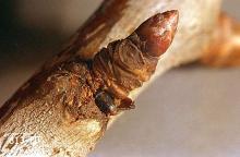 Image related to Peach and nectarine-Shothole borer