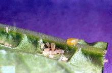 Image related to Peach, flowering (Prunus)-Aphid