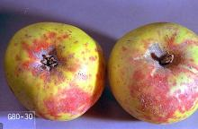 Image related to Pear, flowering (Pyrus)-San Jose scale