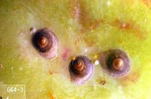 Image related to Photinia (Photinia)-Scale insect