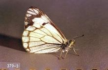 Image related to Pine (Pinus)-Pine butterfly
