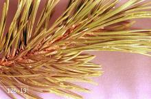 Image related to Pine (Pinus)-Pine needle scale