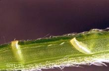Image related to Plum and prune-Lygus bug and stink bug