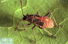 Image related to Plum and prune-Lygus bug and stink bug
