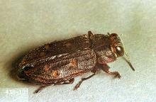 Image related to Plum and prune-Pacific flatheaded borer
