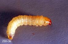Image related to Plum and prune-Peachtree borer