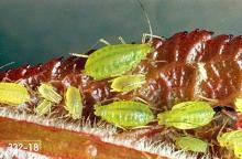 Image related to Plum, flowering (Prunus)-Hop aphid