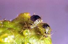 Image related to Plum, flowering (Prunus)-Leaf curl plum aphid