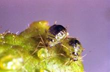 Image related to Plum, flowering (Prunus)-Leaf curl plum aphid