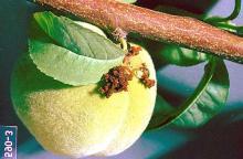 Image related to Plum, flowering (Prunus)-Peach twig borer