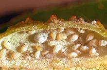 Image related to Poplar (Populus)-Lettuce root aphid