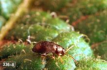 Image related to Potato, Irish-Flea beetle