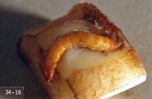 Image related to Potato, Irish-Wireworm