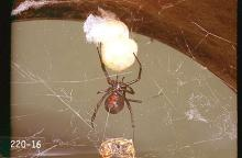 Image related to Public health pests-Poisonous spider