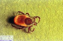 Image related to Public health pests-Tick