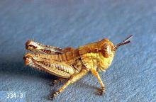 Image related to Rangeland-Grasshopper