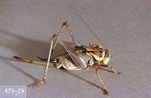 Image related to Rangeland-Mormon cricket