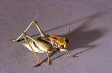Image related to Rangeland-Mormon cricket