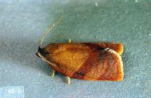Image related to Rhododendron (Rhododendron)-Carnation tortrix