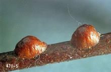 Image related to Rhododendron (Rhododendron)-Lecanium scale